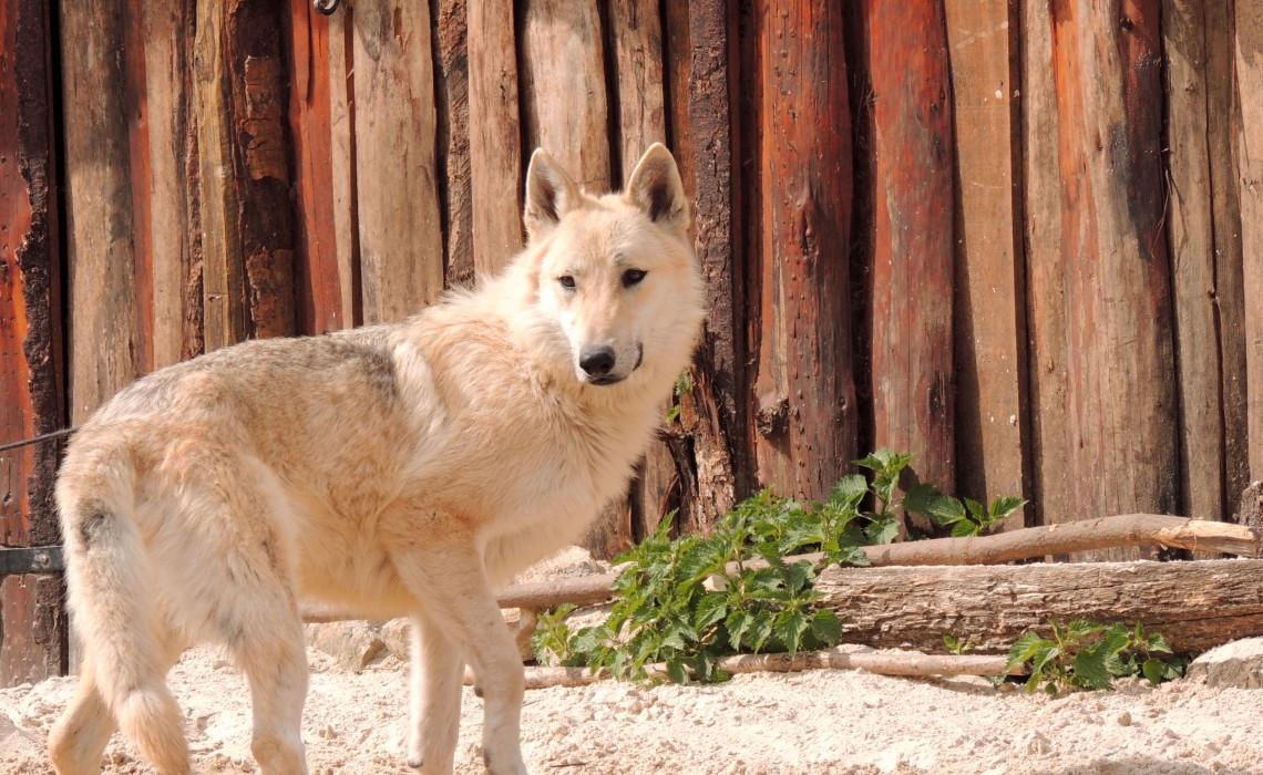 Wolf in Provins