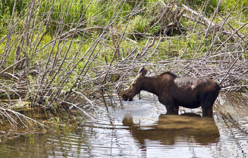 Moose in Moose